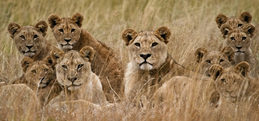 This pride of lions represents a relationship system